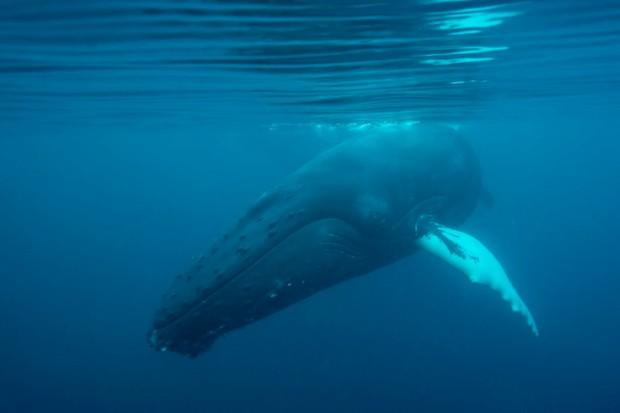 A humpback whale checks out Shetland naturalist Richard Shucksmith. ©Richard Shucksmith and Brydon Thomason