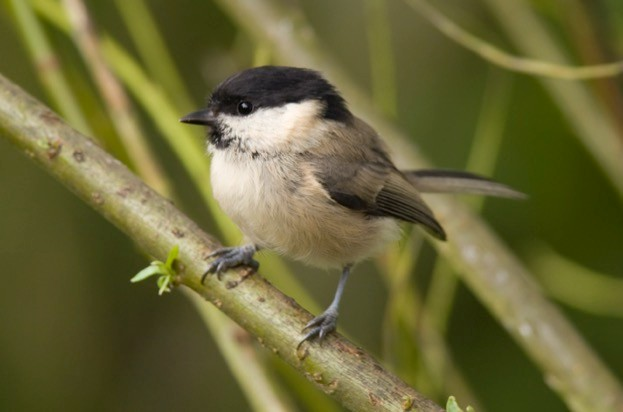 The willow tit is one species that will benefit from the lottery funding.