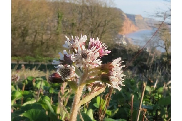 winter20heliotrope20Sidmouth20220120201720Image20by20Karen20Woolley_623-ee84ae8