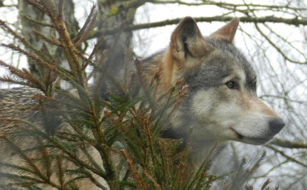 Like dolphins and humans, wolves are social animals – and howling is critical to the way they live. © Becky Barrett