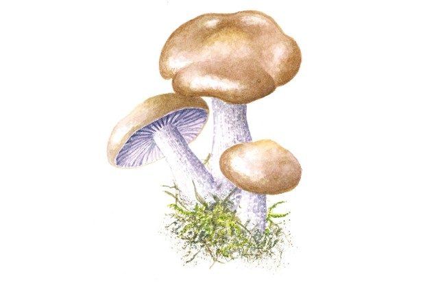 Wood blewit mushroom