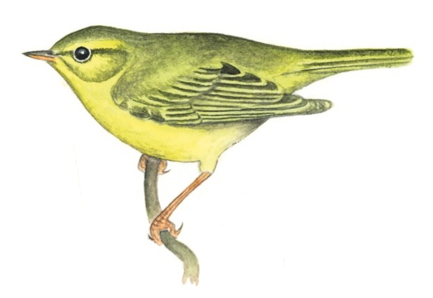 yellow-warbler-Felicity-Rose-Cole--912c712