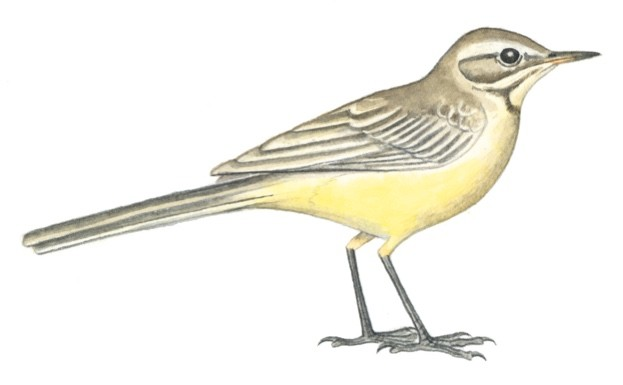 yellow20wagtail20Felicity20Rose20Cole20-afd3a43