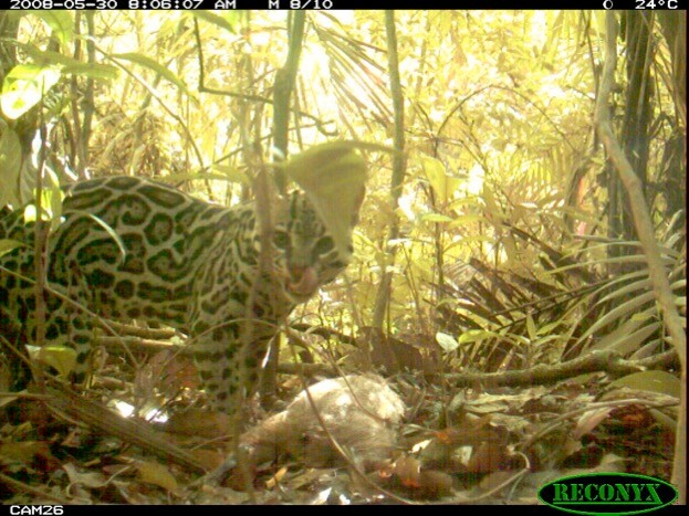 Videos taken by remote cameras were used to estimate how fast animals moved. © ZSL