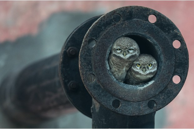 Winner 2018, 10 Years and Under, Pipe owls © Arshdeep Singh (India)/Wildlife Photographer of the Year