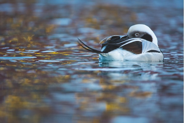 Winner 2018, 11-14 Years Old, Duck of dreams © Carlos Perez Naval (Spain)/Wildlife Photographer of the Year