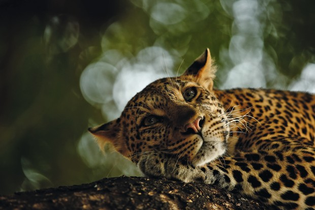 Grand Title Winner 2018, 15-17 Years Old, Lounging leopard © Skye Meaker (South Africa)/Wildlife Photographer of the Year