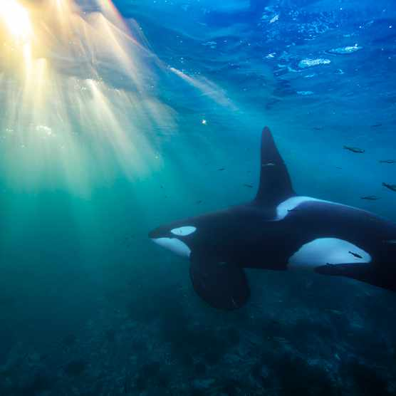 Orca underwater in Norway. © Audun Rikardsen