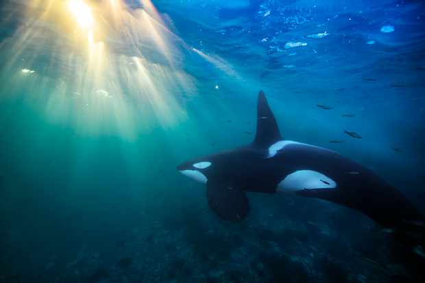 Orca underwater in Norway. © Audun Rikardsen