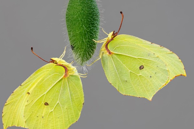 Brimstone butterfly. © Adam Gor/Butterfly Conservation