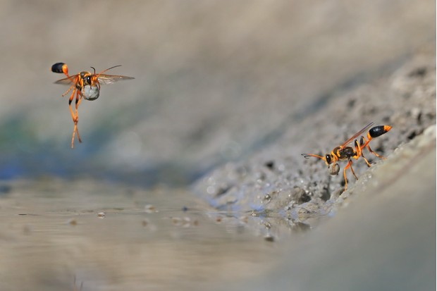 Winner 2018, Behaviour: Invertebrates, Mud-rolling mud-dauber © Georgina Steytler (Australia)/Wildlife Photographer of the Year
