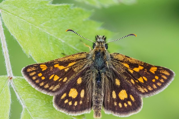 Chequered skipper butterly. © Adam Gor/Butterfly Conservation
