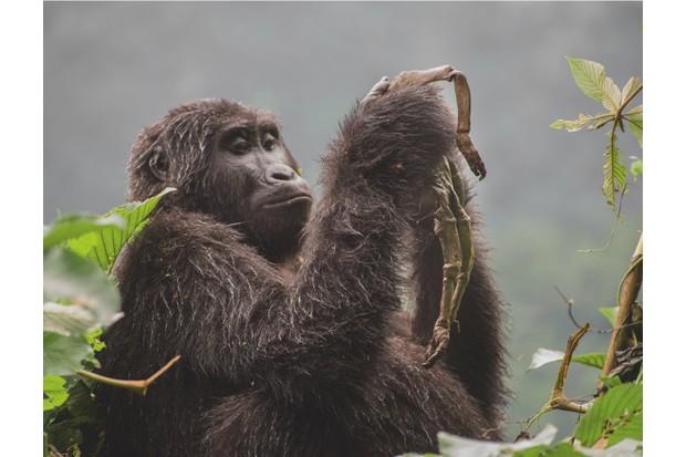 Winner 2018, Behaviour: Mammals, Kuhirwa mourns her baby © Ricardo Núñez Montero (Spain)/Wildlife Photographer of the Year
