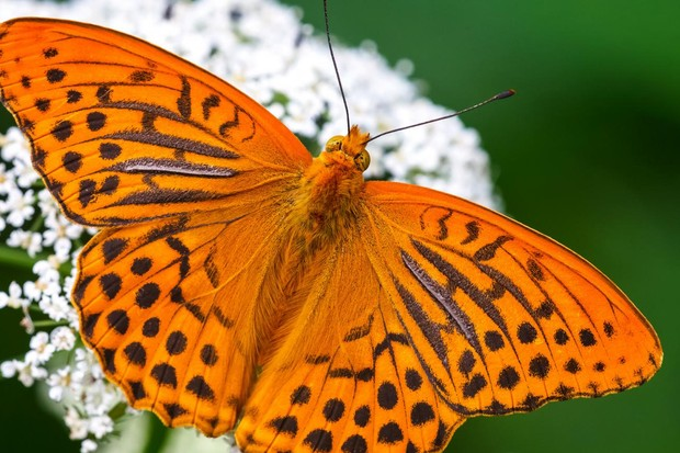 Silver-washed fritillary butterfly. © Adam Gor/Butterfly Conservation