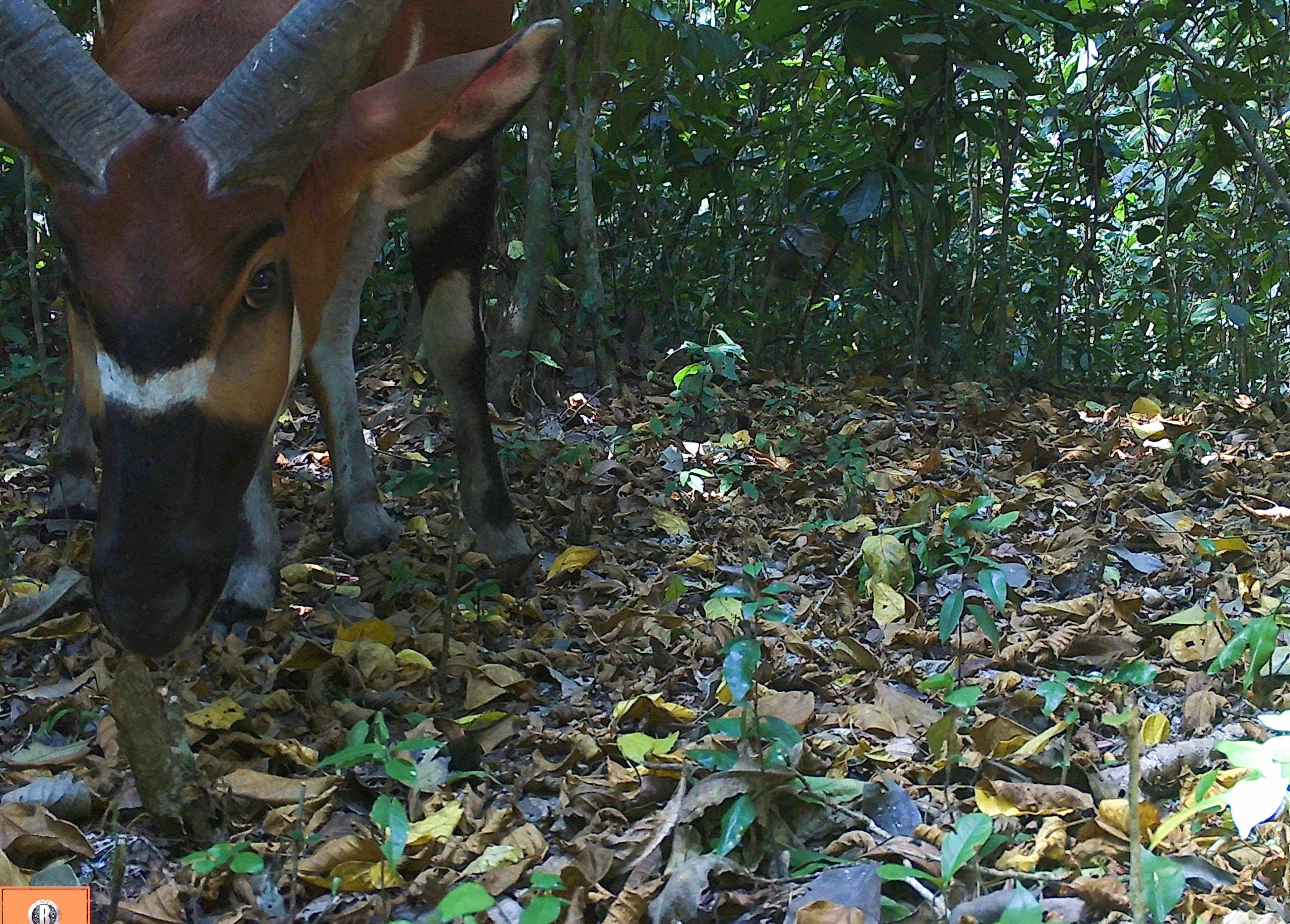 Bongo on camera trap in Semuliki National Park. © Chester Zoo