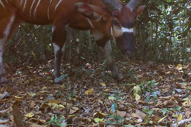 Bongo photographed by a camera trap in Semuliki National Park in Uganda. © Chester Zoo
