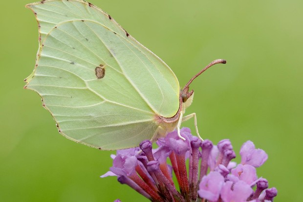 Brimstone butterfly. © Iain H Leach/Butterfly Conservation