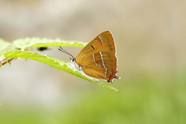 Brown hairstreak butterfly. © Iain H Leach/Getty