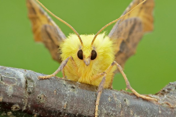 Canary-shouldered thorn. © Iain H Leach/Butterfly Conservation