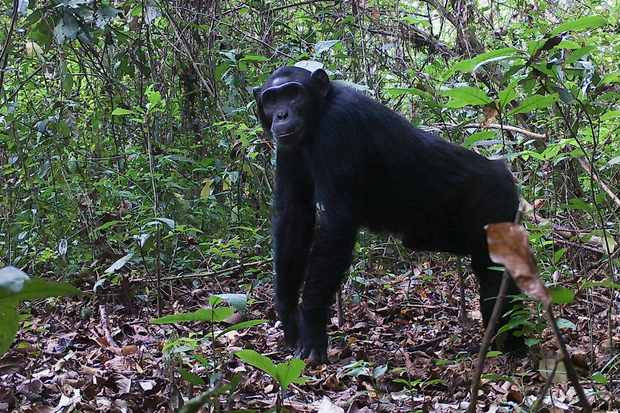 Chimpanzee photographed by camera trap in Semuliki National Park in Uganda. © Chester Zoo