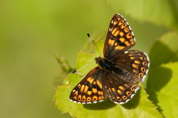 Duke of Burgundy butterfly. © Iain H Leach/Butterfly Conservation