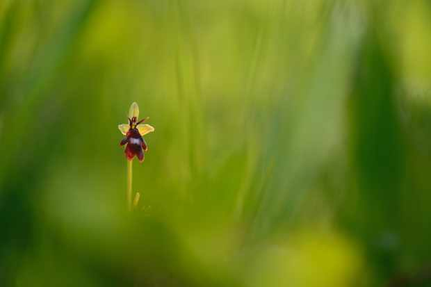 Fly orchid. © Ben Andrew/Back from the Brink