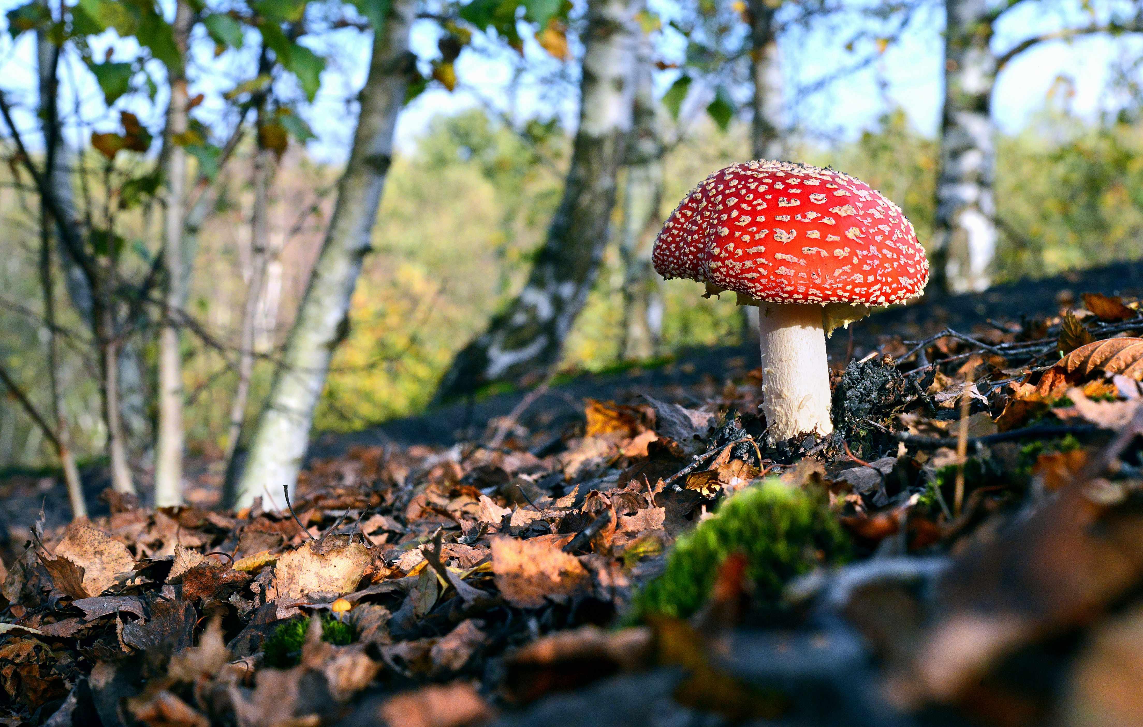 Fly agaric fungi. © Andia/UIG/Getty