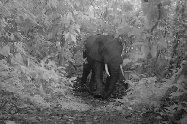 Forest elephant photographed by camera trap in Semuliki National Park in Uganda. © Chester Zoo