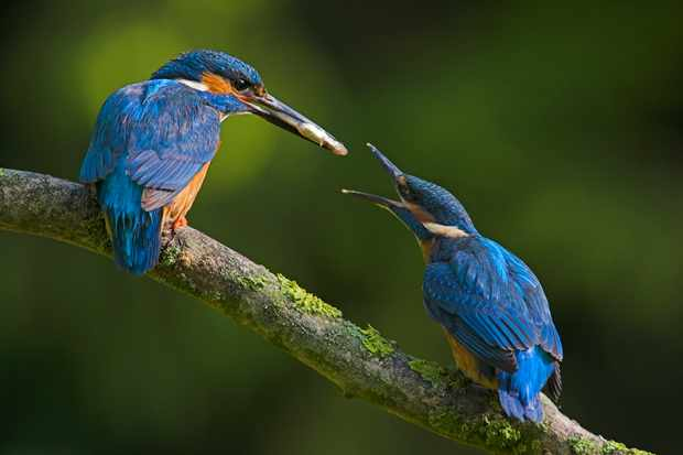 An adult kingfisher feeding a fledgling. © Andy Rouse/Getty