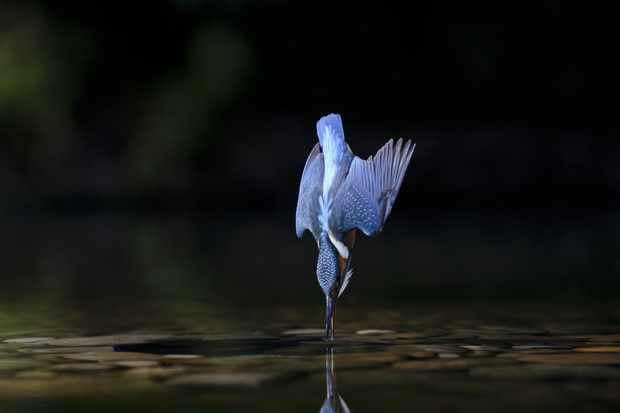 A female kingfisher diving into water. © Andrew Mason/FLPA/Getty