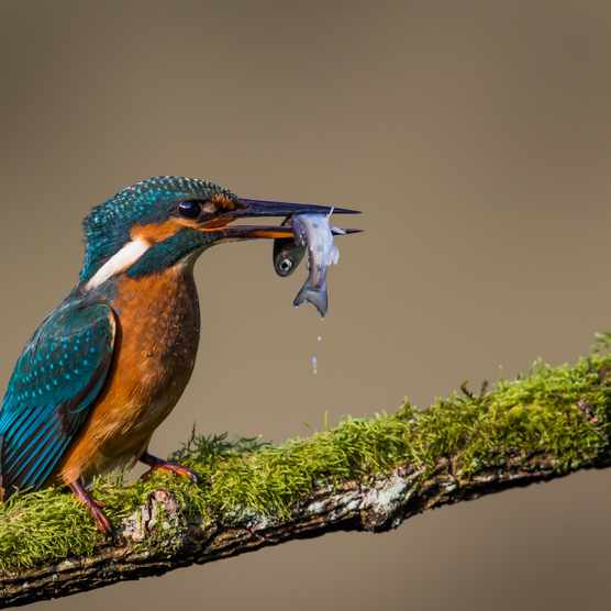 Kingfisher with a fish. © Peter Orr Photographer/Getty