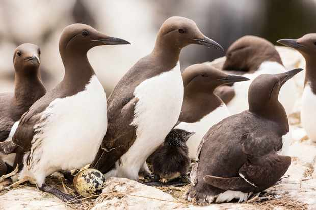 Guillemots and eggs in Northumberland, United Kingdom. © Stephan Rech/Getty