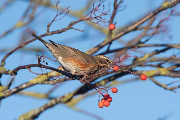 Redwing feeding on rowan berries in garden. © David Tipling/Getty