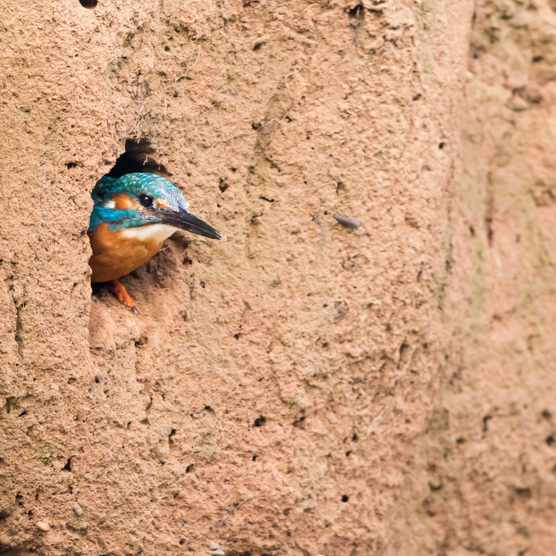 A kingfisher looking out of its nest (in Germany). © Wilfried Martin/Getty
