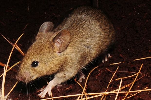 House mice were accidentally introduced to Gough Island in the 19th century. © Ben Dilley