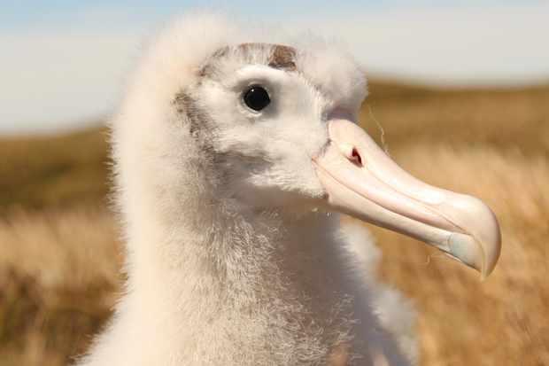 A Tristan albatross chick. © J Cleeland