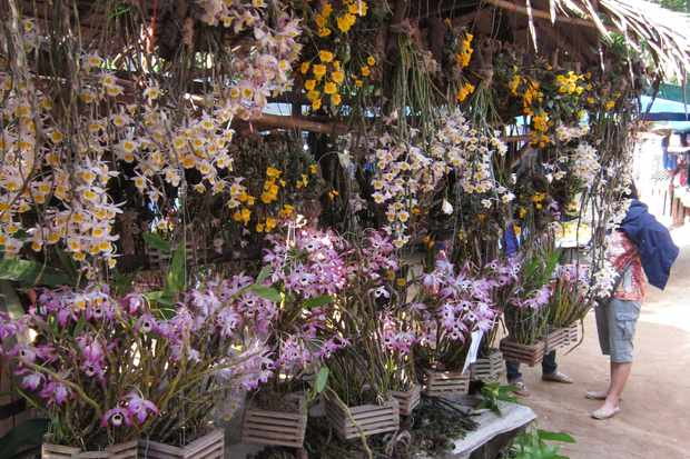Hundreds of wild-collected, protected ornamental orchids for sale in a public market at the Thailand-Myanmar border. © Jacob Phelps