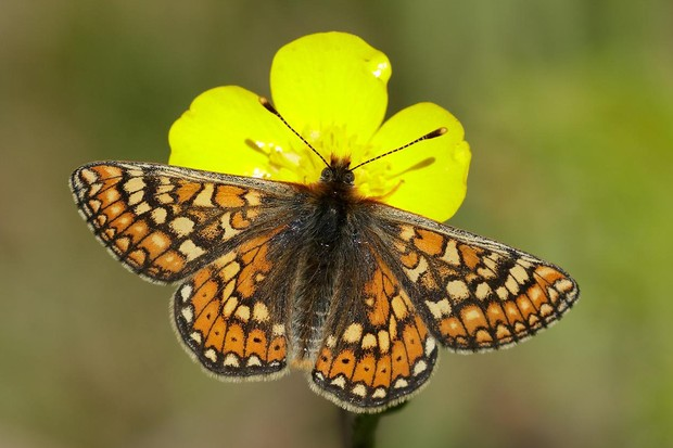 Marsh fritillary butterfly. © Iain H Leach/Butterfly Conservation