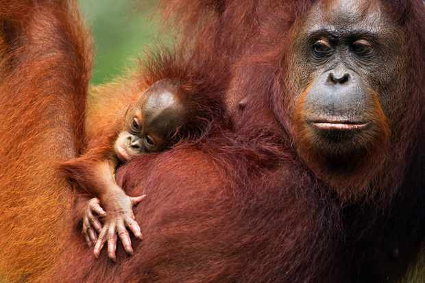 Female Bornean orangutan female with her baby. © Anup Shah/Nature Picture Library/WWF