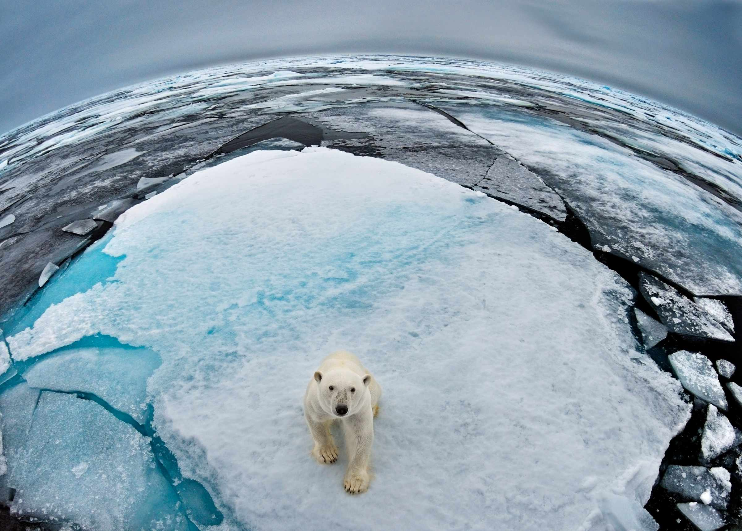 Polar bear in Svalbard, Norway. © WWF