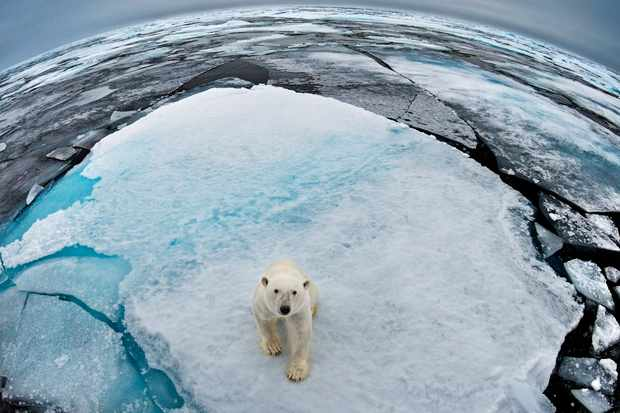 Polar bear in Svalbard, Norway. © WWF