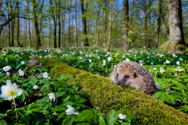 European hedgehog in France. © Klein & Hubert/Nature Picture Library/WWF