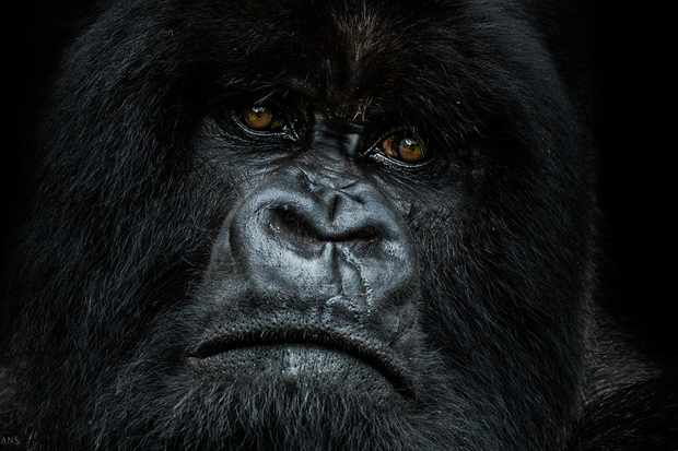 Image from Remembering Great Apes. © Nelis Wolmarans