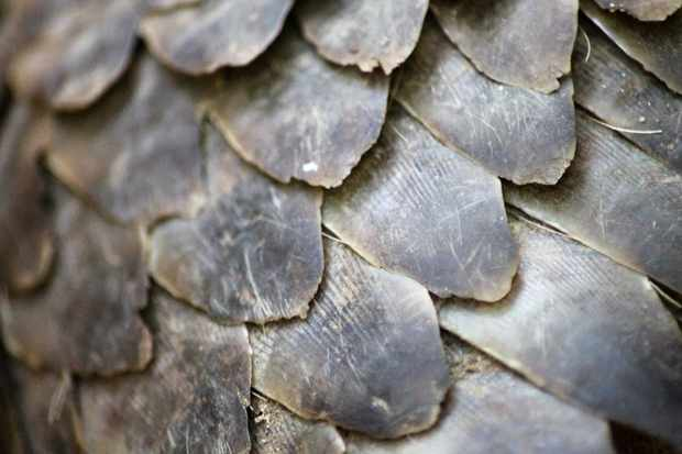 Pangolin scales are used in traditional Chinese medicine. © Lucy Archer