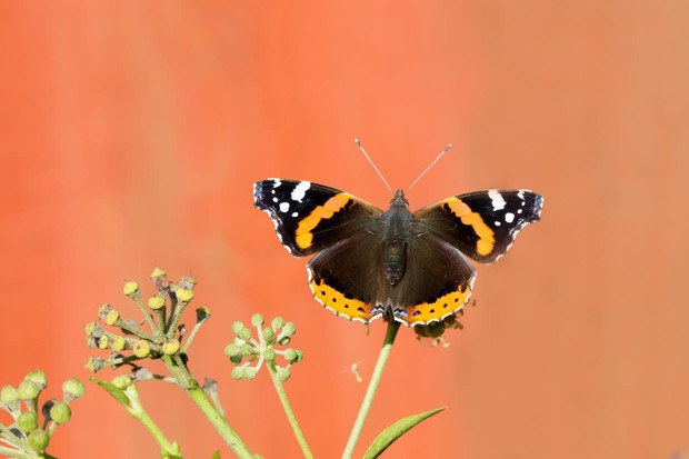 Red admiral butterfly. © Iain H Leach/Butterfly Conservation