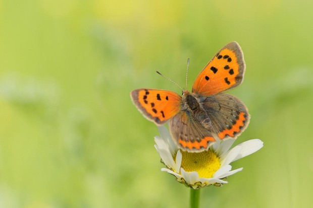 Small copper butterfly. © Udo Ritke/Butterfly Conservation