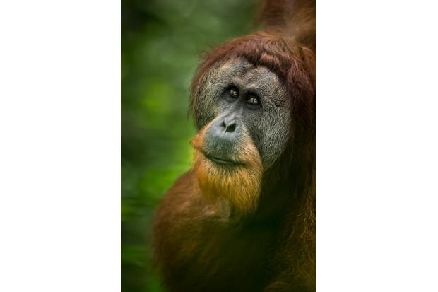 Sumatran orangutan in Sumatra. © Tom Way (UK)