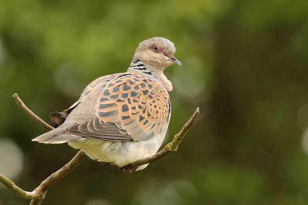 Adult turtle dove - one of the rare birds that Lingham collected the eggs of. © RSPB