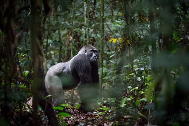Western lowland gorilla in Odzala National Park, Republic of Congo. © Will Burrard-Lucas