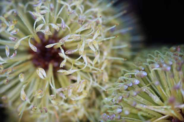 Banksia flowers, common along the coast. © Arwen Dyer